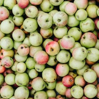 Apfelernte in Oberschefflenz – wie aus 1,6 t Äpfeln 980 Liter Apfelsaft werden